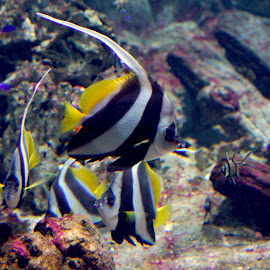 tropical fish by Poul Erik Vistoft Nielsen - Animals Fish ( sony, a77, under water, fish, tropical, stribes, fishtank )