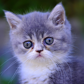 Shocking face by Keple MN - Animals - Cats Kittens ( pwc:95 cutest baby animal, baby, young, animal )