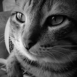 love by Ma Angelica Gallego - Animals - Cats Portraits ( love, cats, animals, portrait )