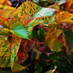 coleus by Lalaji Anwar - Nature Up Close Leaves & Grasses