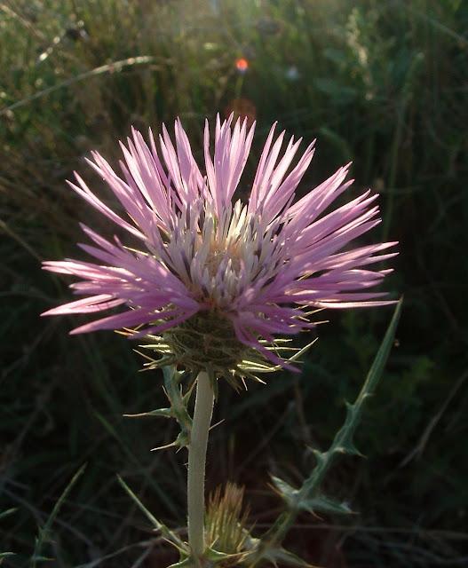Fotos Gratis  Naturaleza - Flores - Cardo