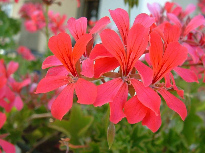 Fotos Gratis  Naturaleza - Flores - Geráneos