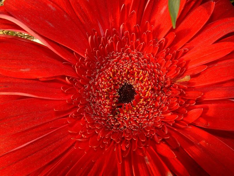 Fotos Gratis  Naturaleza - Flores - Margarita Roja