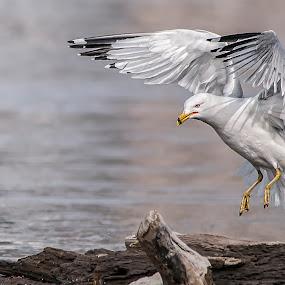by Heather Allen - Animals Birds ( , bird, fly, flight )