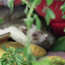 In the Plants by Tara  Smith - Animals Other Mammals ( animals, pets, plants, sleep, ferret )