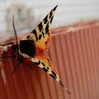 Polilla tigre. Tiger moth