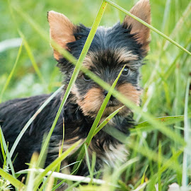 walking for the first time by Boris Kovačec - Animals - Dogs Puppies ( canon, grass, puppy, cute, small )