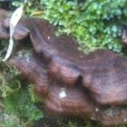 Oreja de oso, oreja de palo