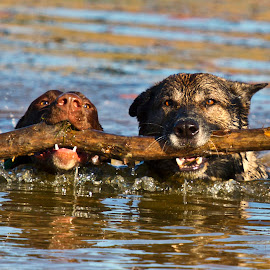 Water Games by Sarah O'Dell - Animals - Dogs Playing ( water, dogs, stick, german shorthaired pointer, blue, brown, german shepherd, gsp, gsd, swimming )