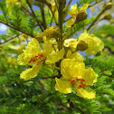 Yellow Poinciana Tree