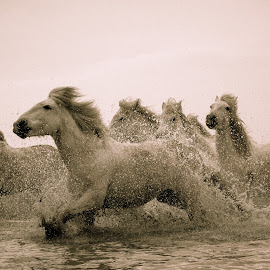 Chevals  by Marleen Dulce - Animals Horses ( water, wild, freedom, horses, running )