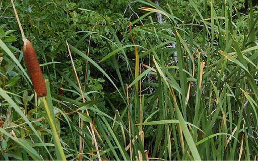 Wild Edible Plant Study Aid
