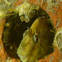 Peacock blenny. Gallerbo