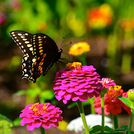 Butterfly on Flower by Carl Testo - Animals Insects & Spiders ( butterfly, maywood, flowers, garden )