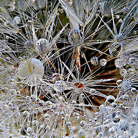 Stellar Chaos by Marija Jilek - Nature Up Close Other plants ( water, plans, chaos, dandelion, nature, stellar, drops )