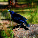 Satin Bower bird (male).