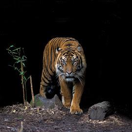On the prowl by David Whelan - Animals Lions, Tigers & Big Cats ( sumatran tiger )