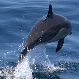 Coming Out by Lasanthica Fernando Benedict - Animals Sea Creatures ( love, water, dolphin, air, ocean, fun, photography, jump )