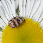 Varied Carpet Beetle