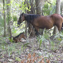 Wild Florida Spanish Horse