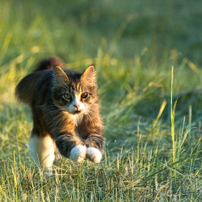 chasing the sunset by Annette Flottwell - Animals - Cats Playing ( gato, gallop, cat, jumping, tomcat, matou, main coon, running,  )