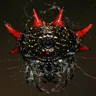 Crablike Spiny Orb Weaver