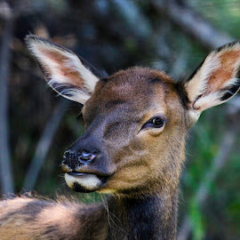 Suspicious by Brandi Nichols - Animals Other Mammals ( waptipi, montana, elk, wildlife, fawn )