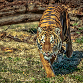 On the Attack by Carol Plummer - Animals Lions, Tigers & Big Cats