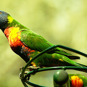 Rainbow Lorikeet by Joanne Draper - Animals Birds ( bird, australia, wildlife )