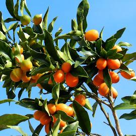 Florida Kumquats by Kathy Rose Willis - Nature Up Close Gardens & Produce ( orange, fruit, blue sky, tree, green, florida, kumquats,  )