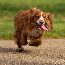 by James Blyth Currie - Animals - Dogs Running ( cockerspaniel, kensington gardens, canon7d, hyde park, london, canon70-200mm, dog, running )
