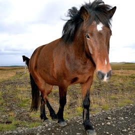 Icelandic Horse by Tyrell Heaton - Animals Horses ( iceland, horse, iphone )