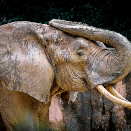 Miranda's Elephant by Gregg Pratt - Animals Other Mammals ( elephant )