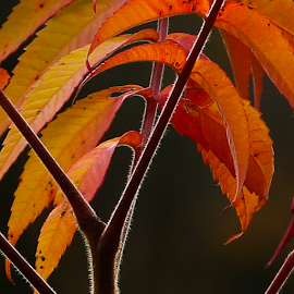 Summack by Nancy Merolle - Nature Up Close Trees & Bushes ( orange, backlit, red, summack, autumn, leaves )