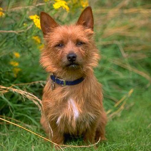 狗狗拼圖:澳大利亞梗 LOGO-APP點子
