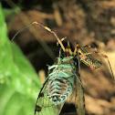 Golden orb spider and Cicada