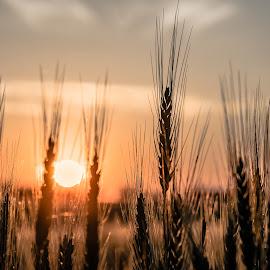 sunset in the grain field by Christian Krammer - Landscapes Prairies, Meadows & Fields ( field, sunset, food, grain, farmland, fine, sun, country,  )