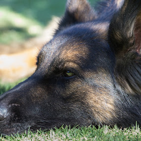 Cody by Daniel Arjona - Animals - Dogs Portraits ( pastor alemán, perro soñando, jardín, perros, sable )
