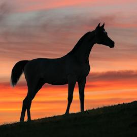 Arabian sunset by Glenys Lilley - Animals Horses ( sunsets silhoutees, arabian horse sunset, sunset, horse, summer, arabian, animal,  )