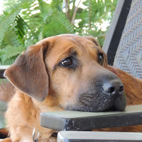 Sad Roscoe by William Rhodes - Animals - Dogs Portraits ( worried, sad, beautiful, handsome )