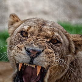 Not Happy.... by Graham Markham - Animals Lions, Tigers & Big Cats ( snarl, big cats, animals, colchester, zoo, roar, lioness, angry, teeth )