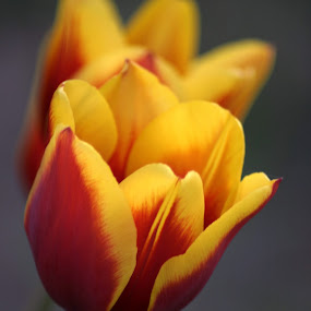 Tulips by Rob King - Flowers Flowers in the Wild ( dual, two tulip, red, yellow,  )