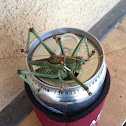 Greater arid-land katydid