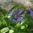Bachelor's Button (Cornflower)