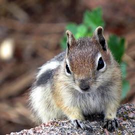 A squirrel..... by Sayanti Das Bera - Animals Other (  )