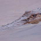 Estuarine (saltwater) crocodile