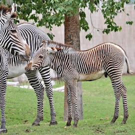 Zebras by Dawn Hoehn Hagler - Animals Horses ( baby zebra, zoo, reid park zoo, horse, tucson, baby animal, strips, zebra,  )