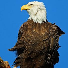 Bald Eagle Profile by Anthony Goldman - Animals Birds ( bird, wild, eagle, anclote river, endangered, bald, profile,  )