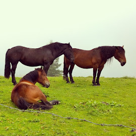 Horses Resting in Mountains  by Lejla Hadziabdic - Animals Horses ( #horses #nature #alps #mountains #dachstein # )