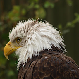 Sunday 2 by Garry Chisholm - Animals Birds ( bird, eagle, nature, wildlife, prey, raptor, bald, chisholm, garry )